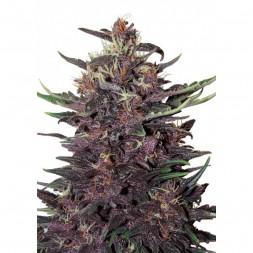 Buddha Purple Kush AUTO